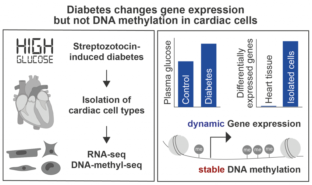 Diabetes changes gene expression but not DNA methylation in cardiac cells