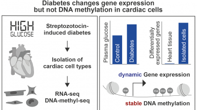 The heterocellular heart requires cell type-specific epigenetic analysis to uncover the impact of diabetes