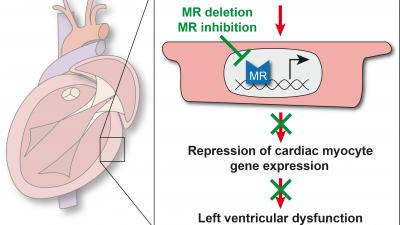Inhibition of the cardiac myocyte mineralocorticoid receptor ameliorates doxorubicin-induced cardiotoxicity