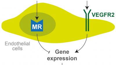 Impact of endothelial cell mineralocorticoid receptors on angiogenesis